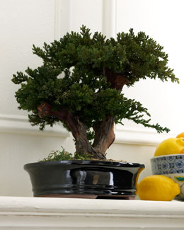 Preserved Bonsai Tree