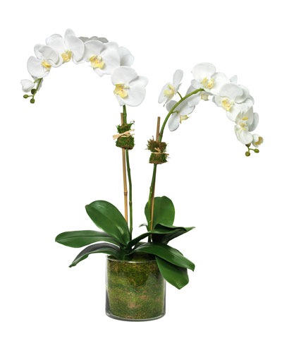 Phalaenopsis Orchid in Glass Cylinder